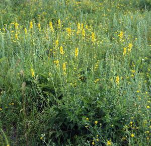 Настойки из травы репешок