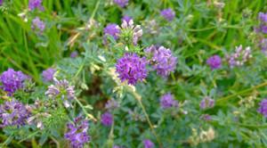 Люцерна цветёт на поле