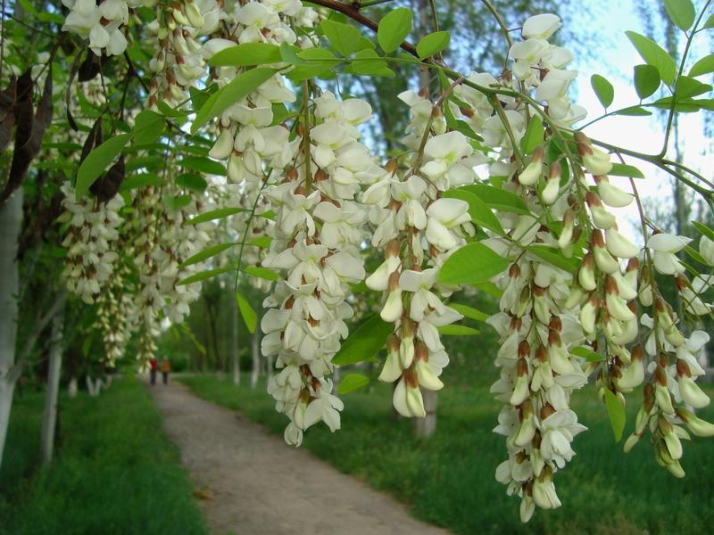 Цветы акации лечебные свойства в гинекологии