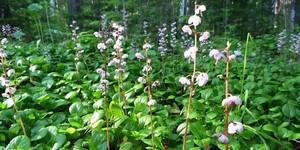 Лечебная трава грушанка