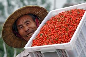Как растут ягоды Годжи