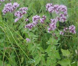 Какими свойствами обладает трава душица