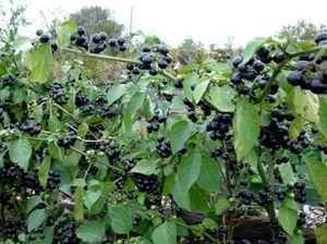 Лечебные свойства растения Черника форте и противопоказания к его употреблению
