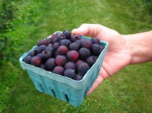 Как растет ягода ирга