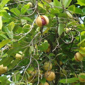 Зеленое растение мускатный орех крупно