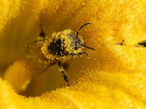 Пчелы приносят пыльцу на ножках и брюшке и утрамбовывают ее