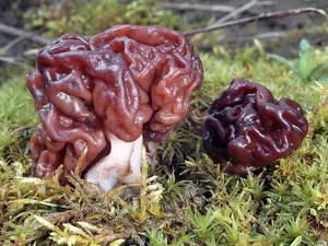 Как выглядят грибы сморчки