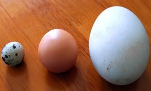 В чем заключается польза гусиного яйца