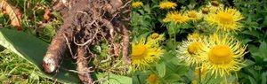 Девясил – цветок и корень фото