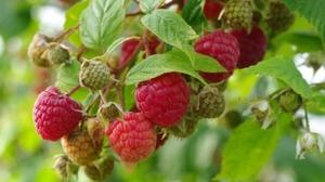 Польза и вред свежей малины