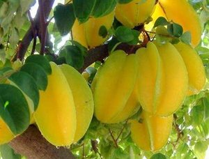 Плоды карамболы на дереве